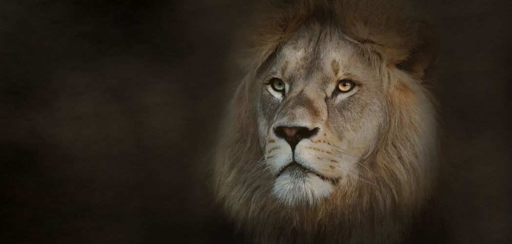 original photo animal eyes cat animal africa wild cat lion wallpaper
