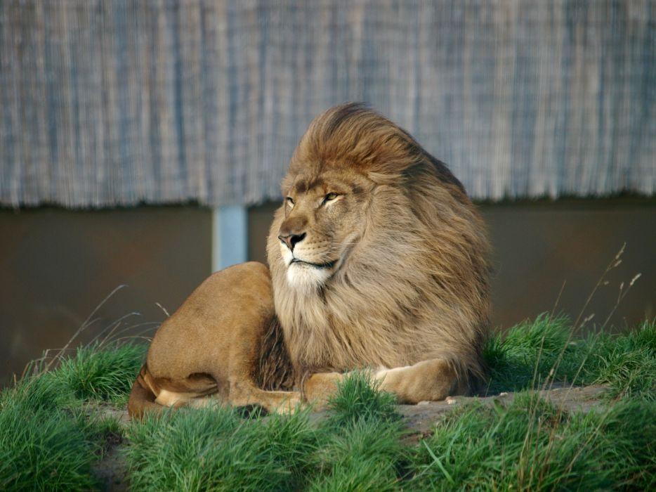 leon mamifero animales carnivoro wallpaper