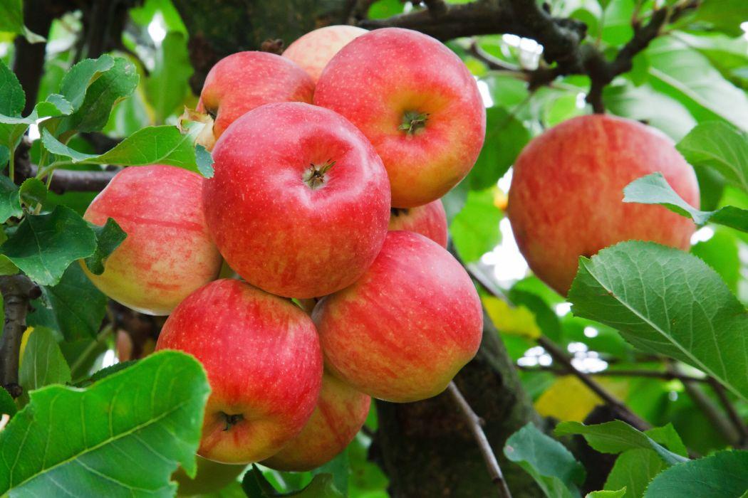 manzanas rojas frutas naturaleza wallpaper