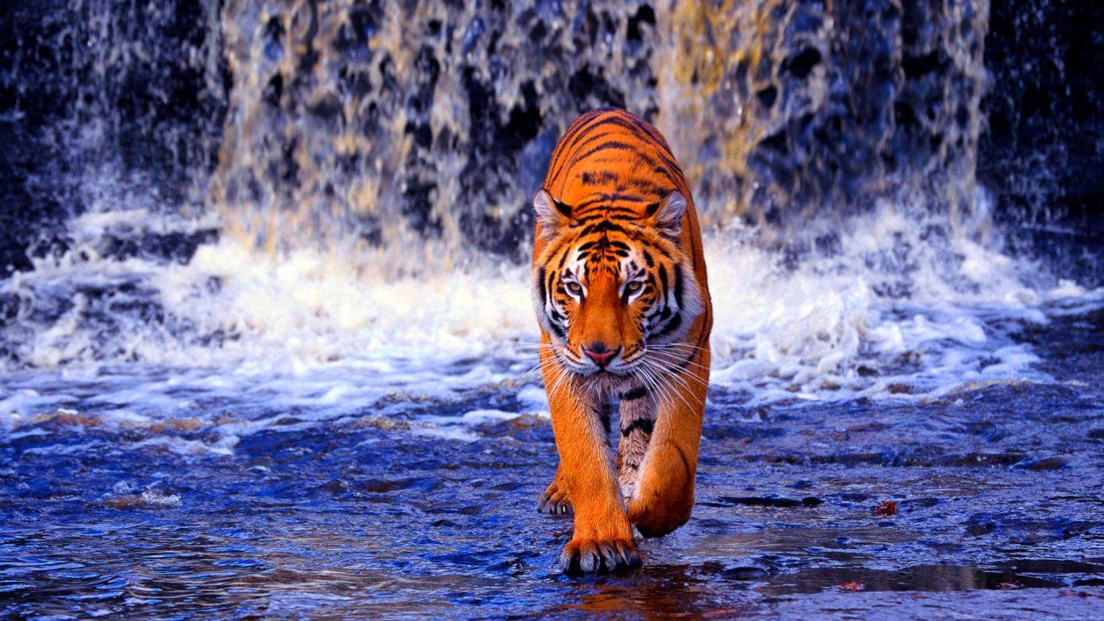TIGER cat predator cats fantasy asian oriental nature jungle wallpaper