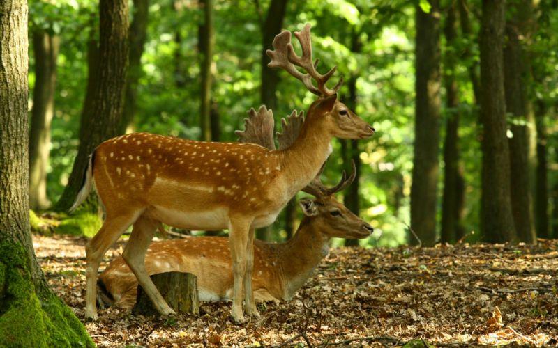 deer animal cute nature forest wallpaper