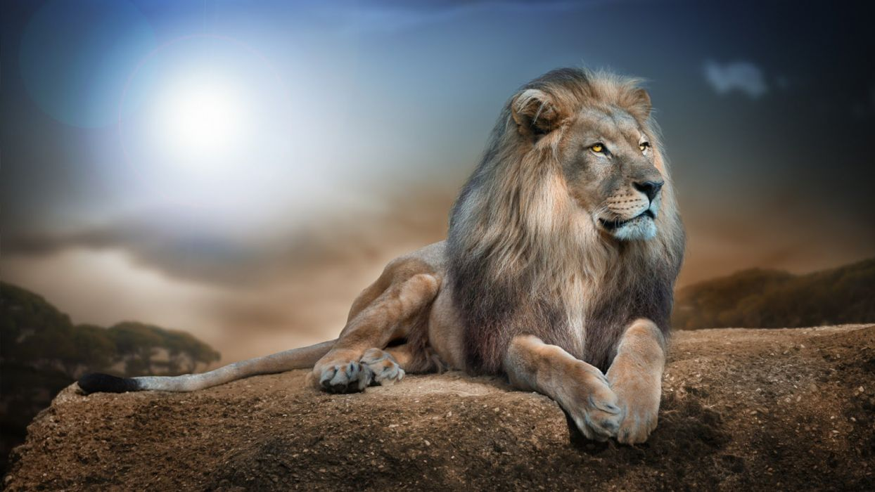 THE LION OF KING wallpaper