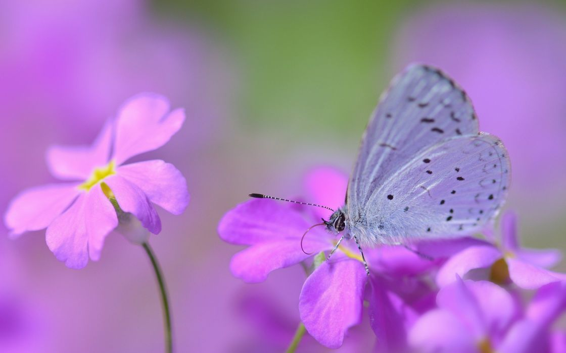 Mysterious butterfly flowers butterfly insects nature macro wallpaper