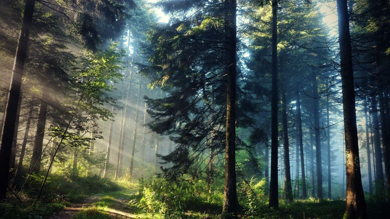 forest trees nature landscape sunlight beauty wallpaper