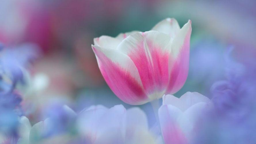 nature flowers tulips bokeh wallpaper