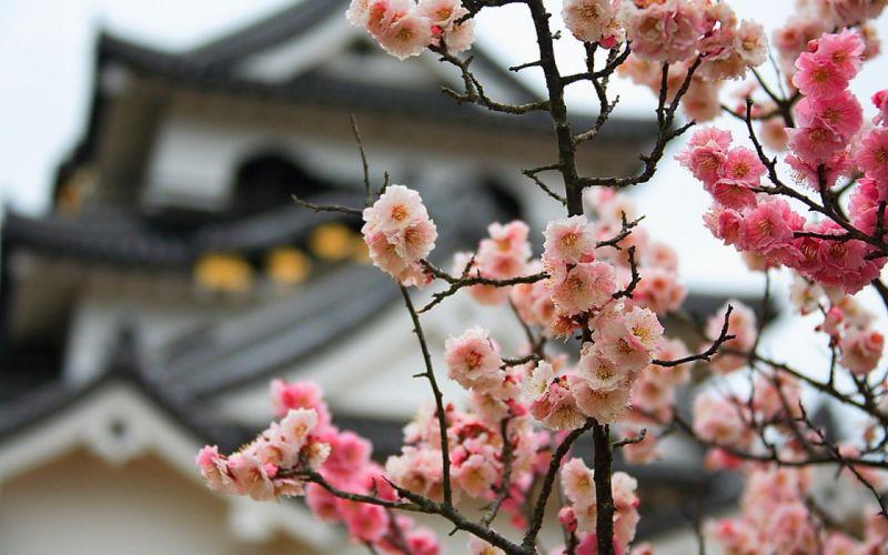 Japan cherry blossoms flowers bokeh blurred background wallpaper