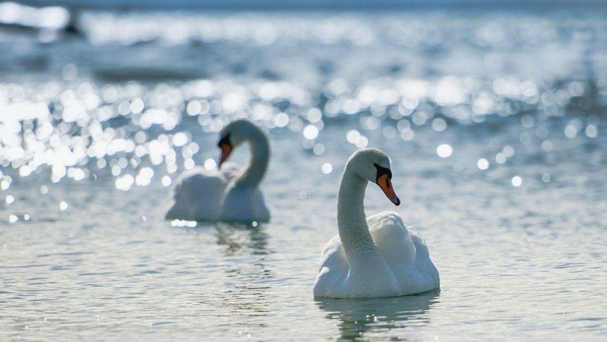 beauty swans bokeh lakes birds wallpaper