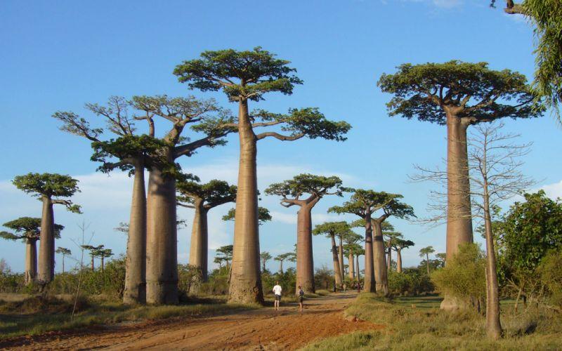 baobab arboles africa naturaleza wallpaper