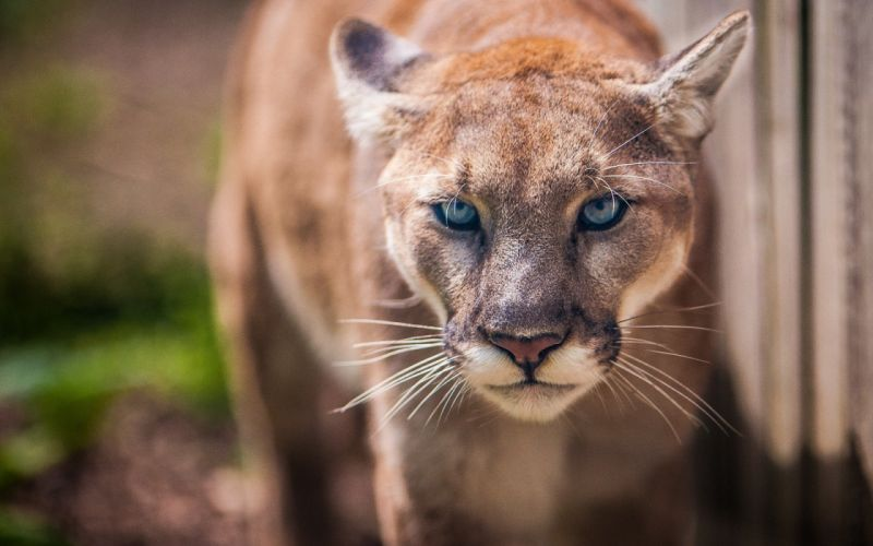 Beautiful lioness lion animals wild wallpaper