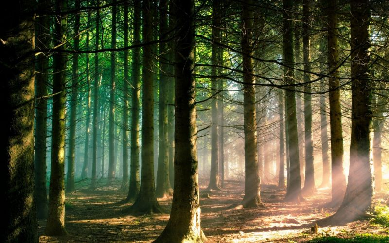 nature trees forest branch sun rays landscape pine trees sunlight green wallpaper