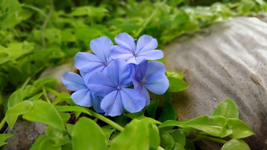 blue flowers leaves flowers wallpaper