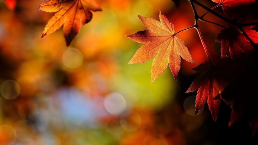 macro depth of field leaves maple leaves bokeh fall wallpaper