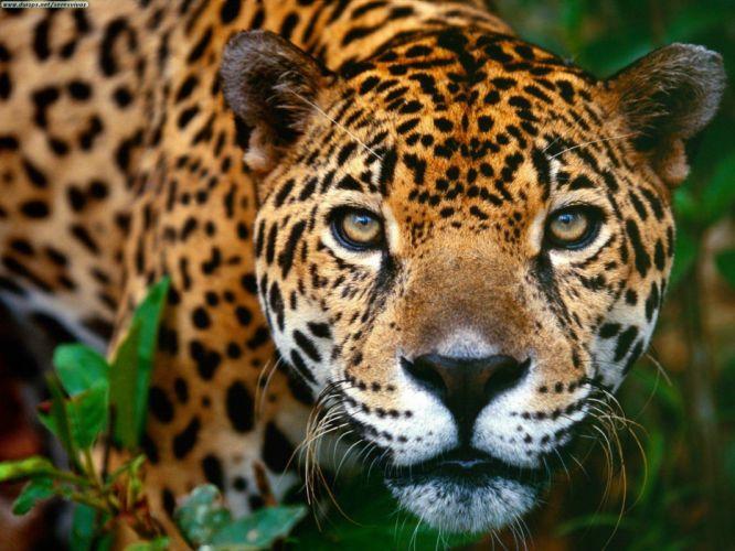 jaguars Brazil wildlife animals wallpaper