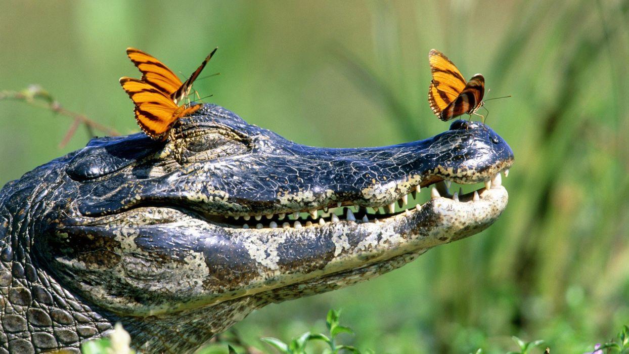 animals Brazil crocodiles butterflies wallpaper