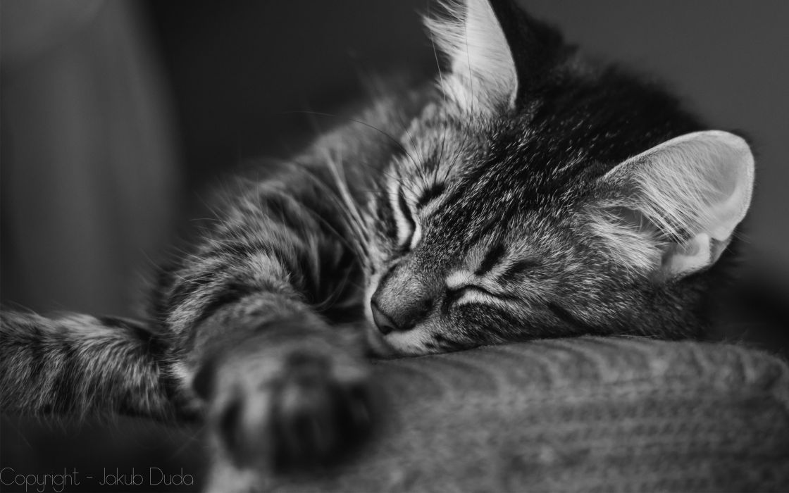 Black And White Cats Animals Kittens Cute Wallpaper 2560x1600 978777 Wallpaperup