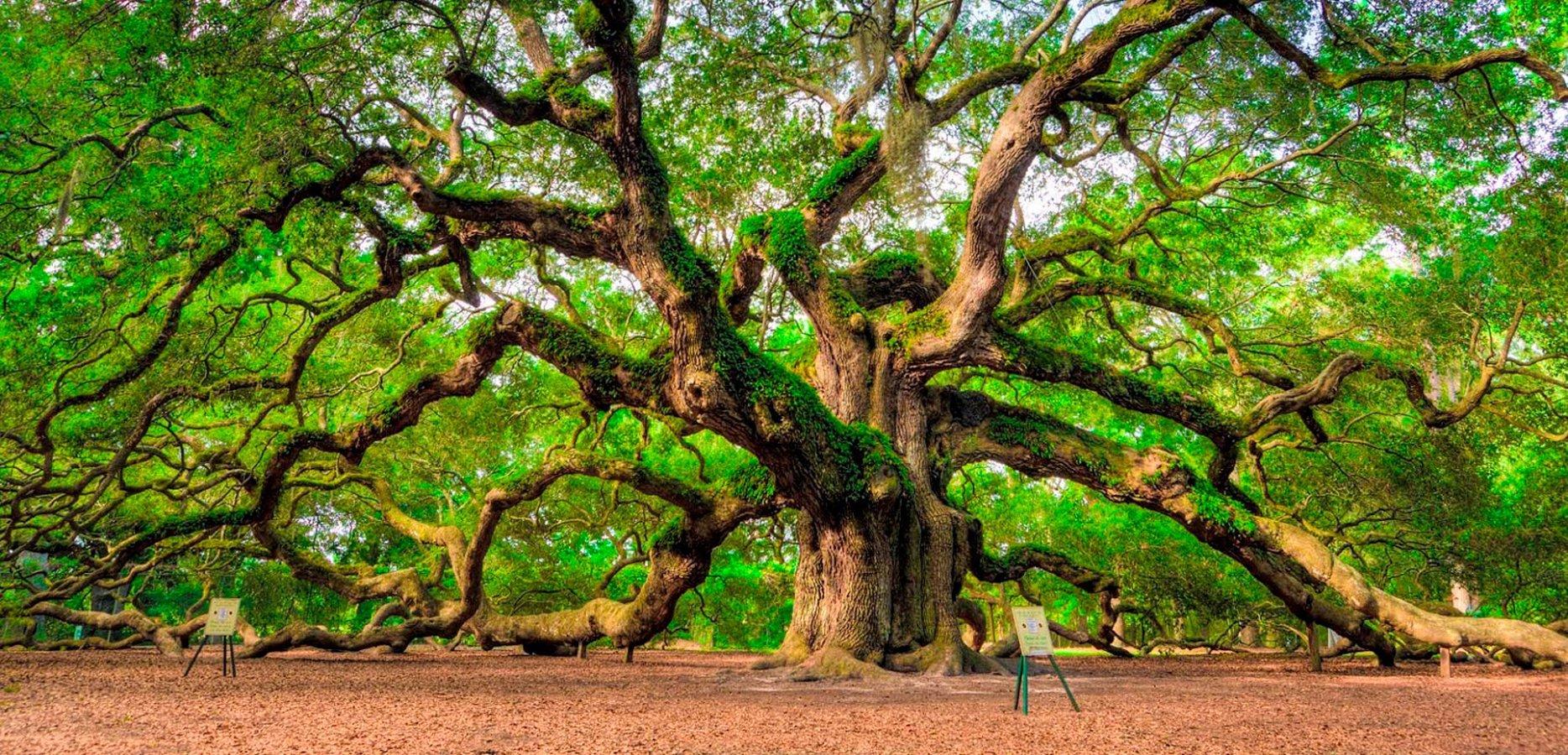 Oak magnificent beauty of nature wallpaper
