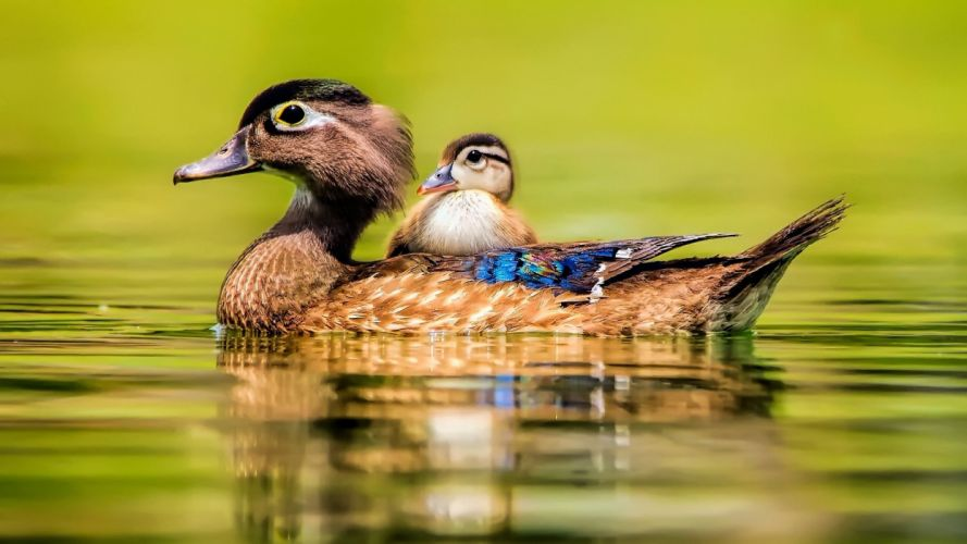 animal cute baby beauty lake water bird duck duck wallpaper