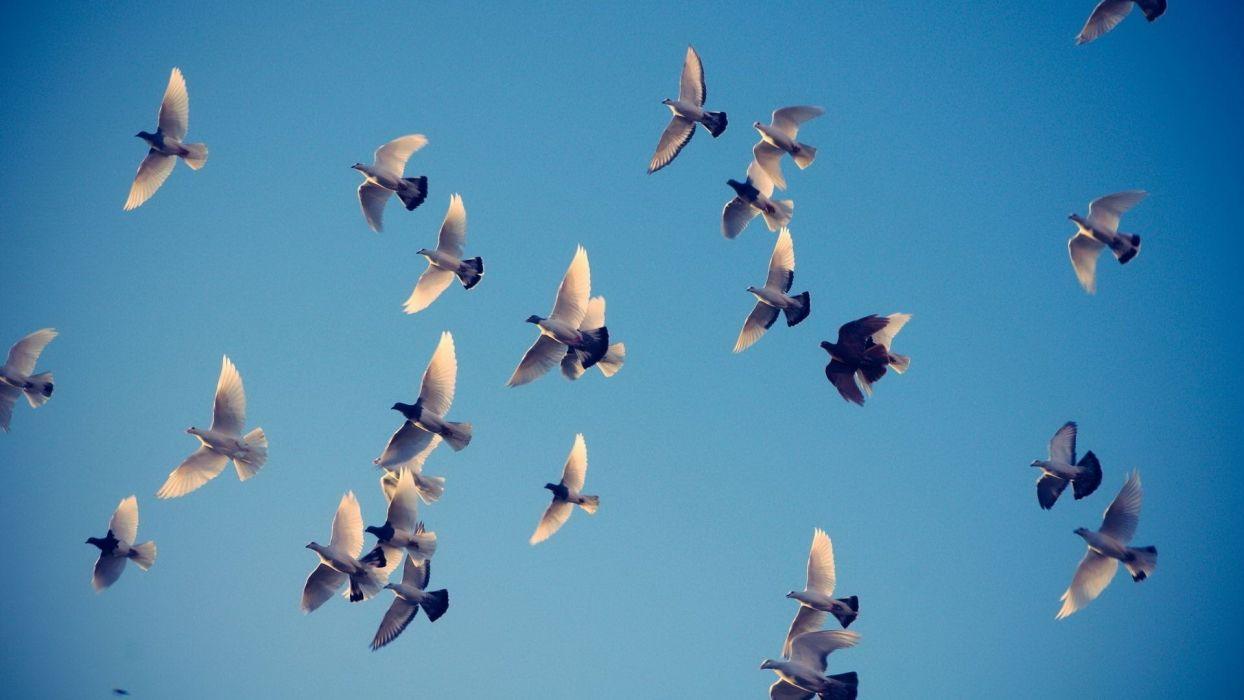 animal group bird flying wings blue sky wallpaper
