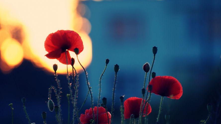 flowers red sunset poppy nature wallpaper