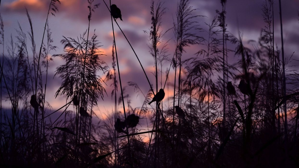 sparrows birds sunset nature wallpaper