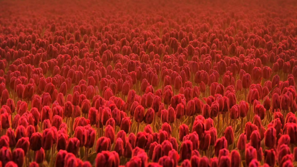 tulips red flowers summer flowers summer flowers spring flowers flowers field freshness field spring red wallpaper