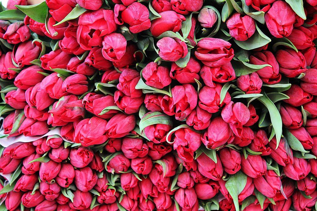 tulips flowers set buds wallpaper