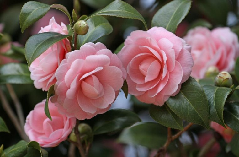 camellia flowers garden buds stems leaves close-up wallpaper