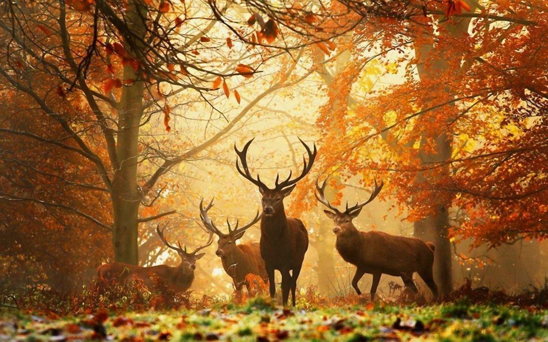 deer grass leaves autumn trees animal forest wallpaper
