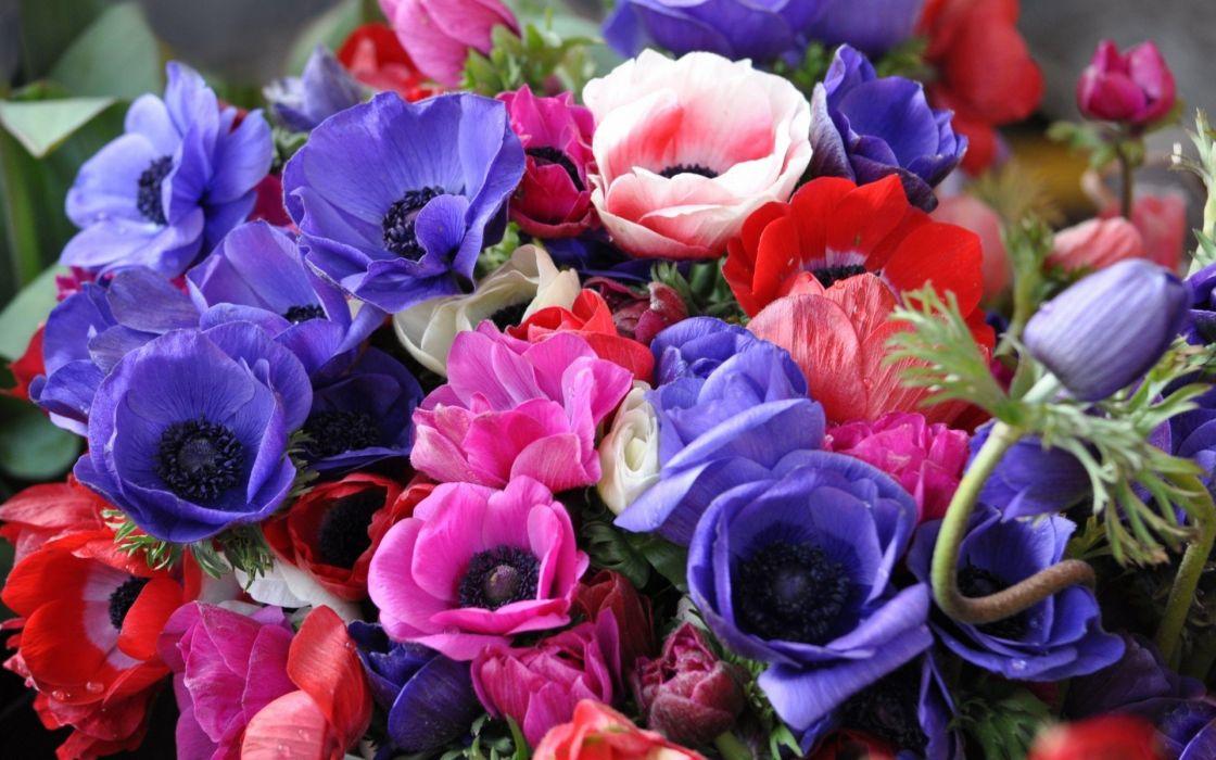 anemones flowers bouquet bright close-up wallpaper