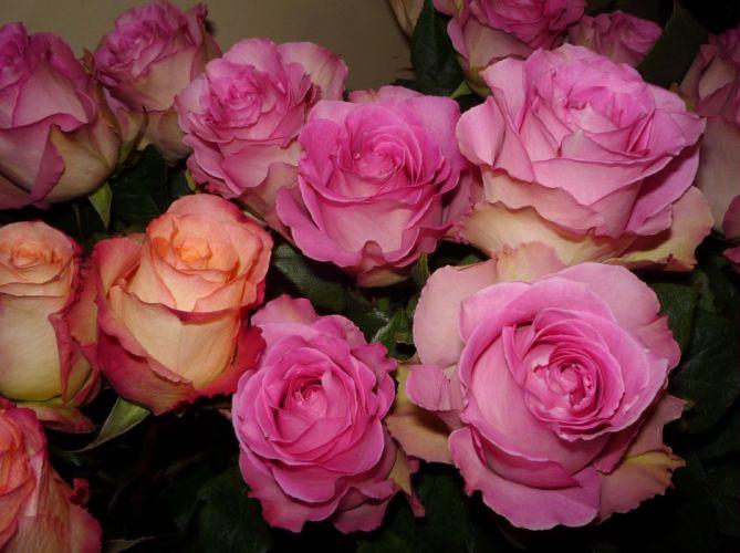 roses buds flower tenderness wallpaper