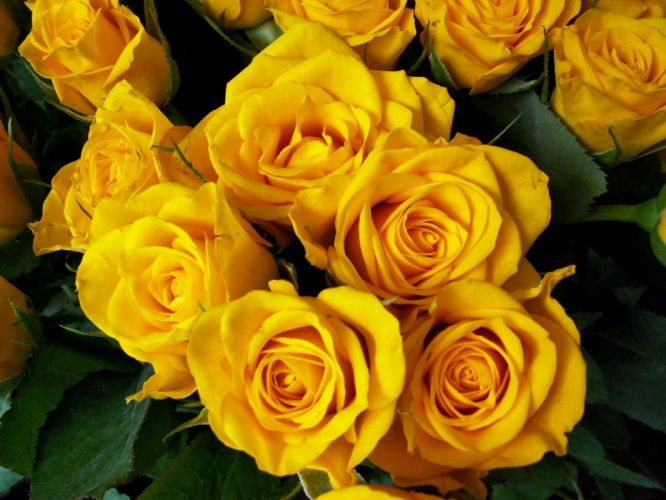 roses flower yellow bright beautiful bouquet wallpaper