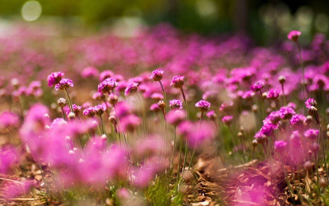 flowers macro pink bokeh wallpaper