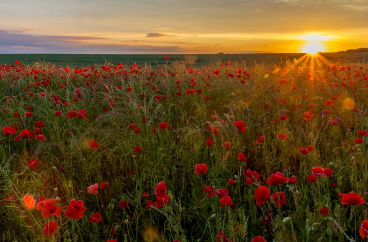 Fields Sunrises and sunsets Poppies Sun Nature wallpaper