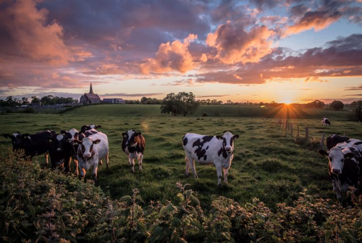 Cow Fields Sunrises and sunsets Clouds Sun Animals Nature wallpaper