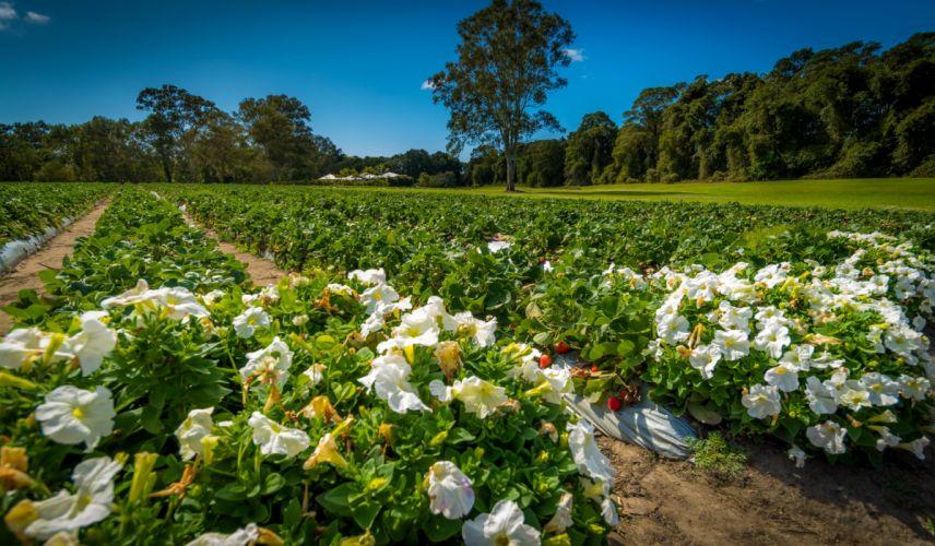 Australia Fields Petunia Palmview Queensland Nature wallpaper