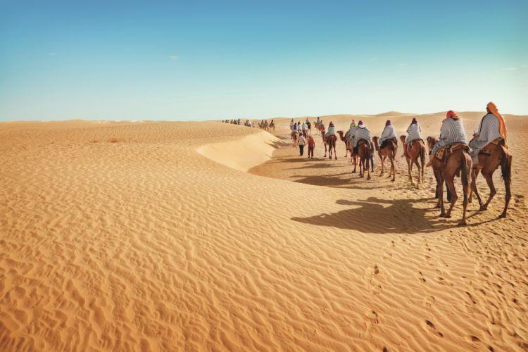 Desert Camels Nature wallpaper