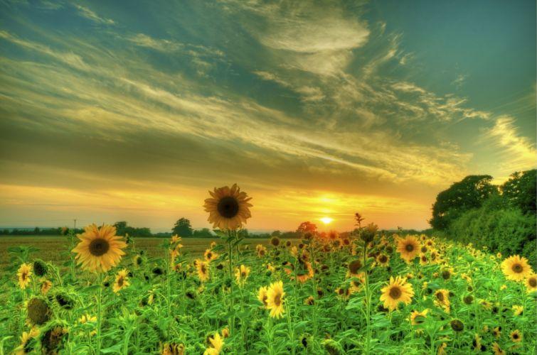 Sunflowers Fields Sky HDR Nature Flowers wallpaper