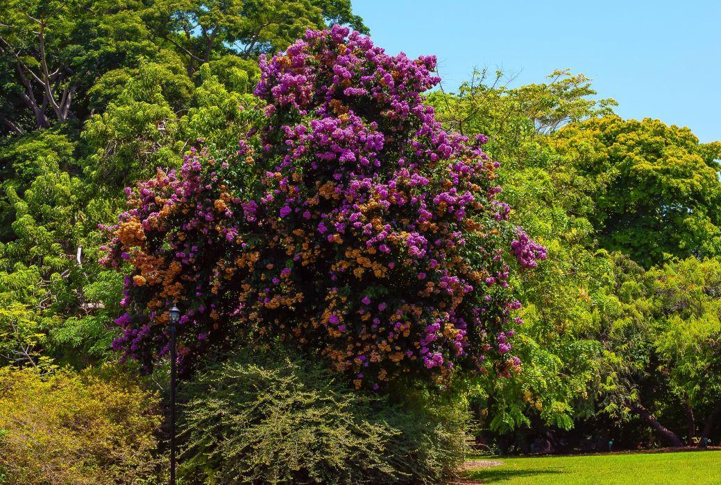 USA Parks Bougainvillea Gardens Trees Bougainvillea arborea Fairchild Tropical Botanic Garden Nature wallpaper