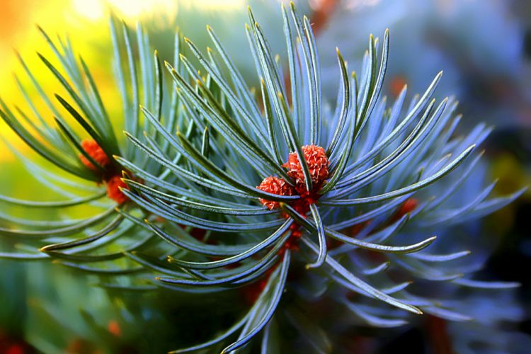 Closeup Branches Pine needles Nature wallpaper