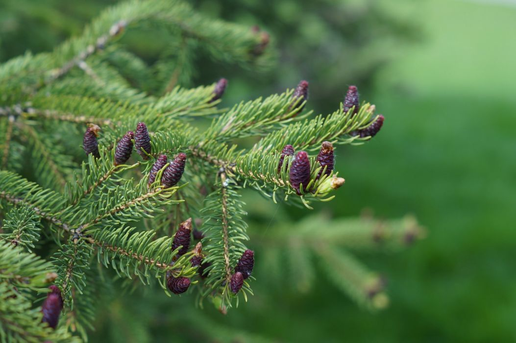 ine cone Branches Fir needles Nature wallpaper