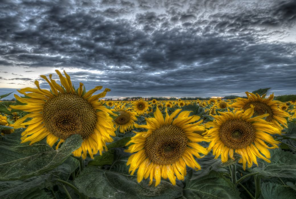 Fields Sunflowers HDR Nature Flowers wallpaper