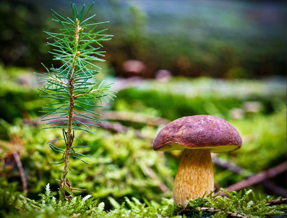 Mushrooms nature Closeup Moss Branches needles porcini Nature wallpaper