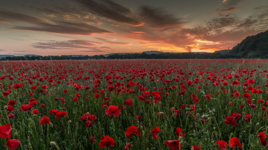 Fields Poppies Evening Nature wallpaper