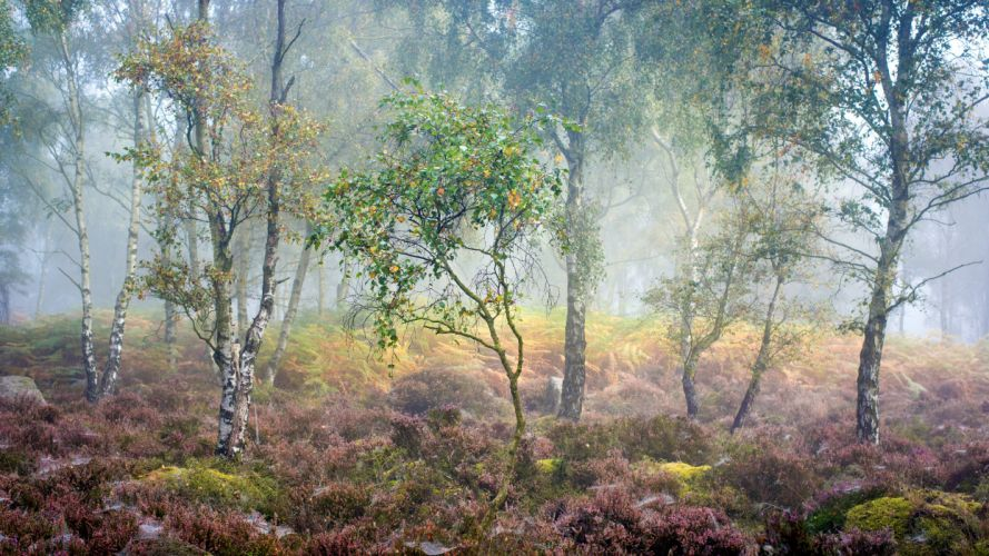 Forests Trees Birch Fog Nature wallpaper