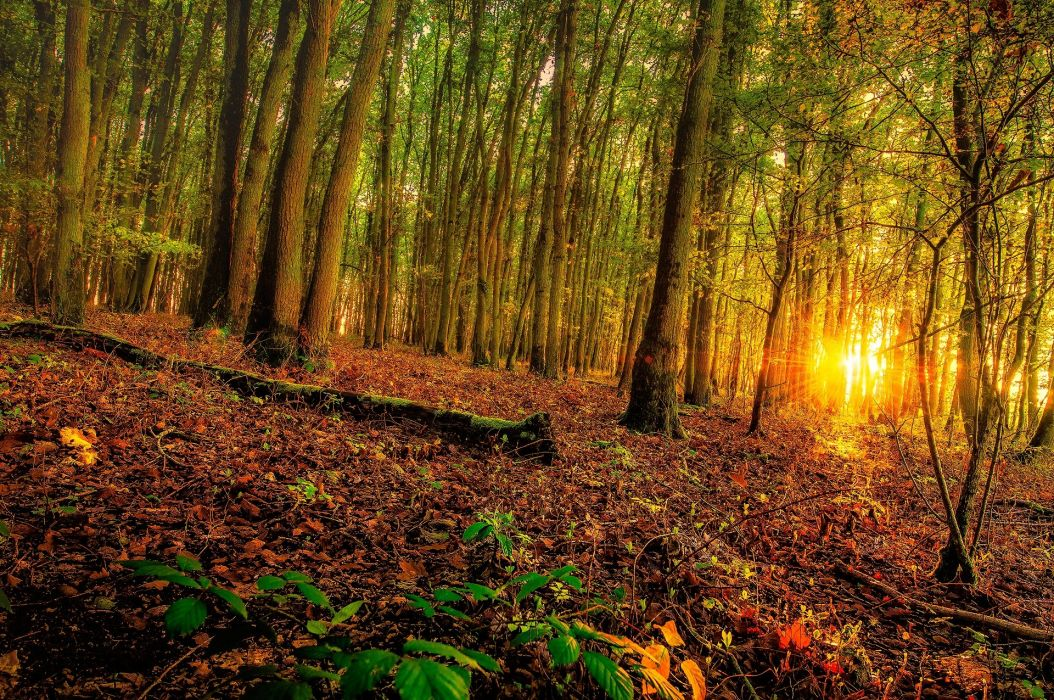 Forests Sunrises and sunsets Trees Nature wallpaper