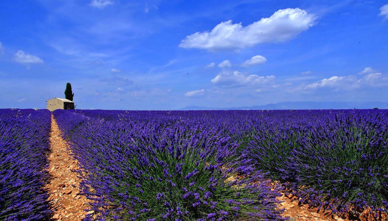 Scenery Fields Lavandula Sky Nature wallpaper