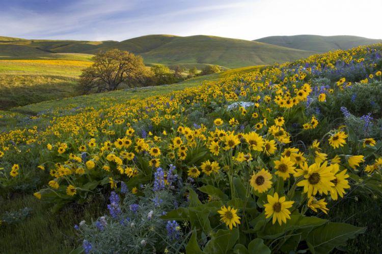 USA Scenery Grasslands Sunflowers Nature wallpaper