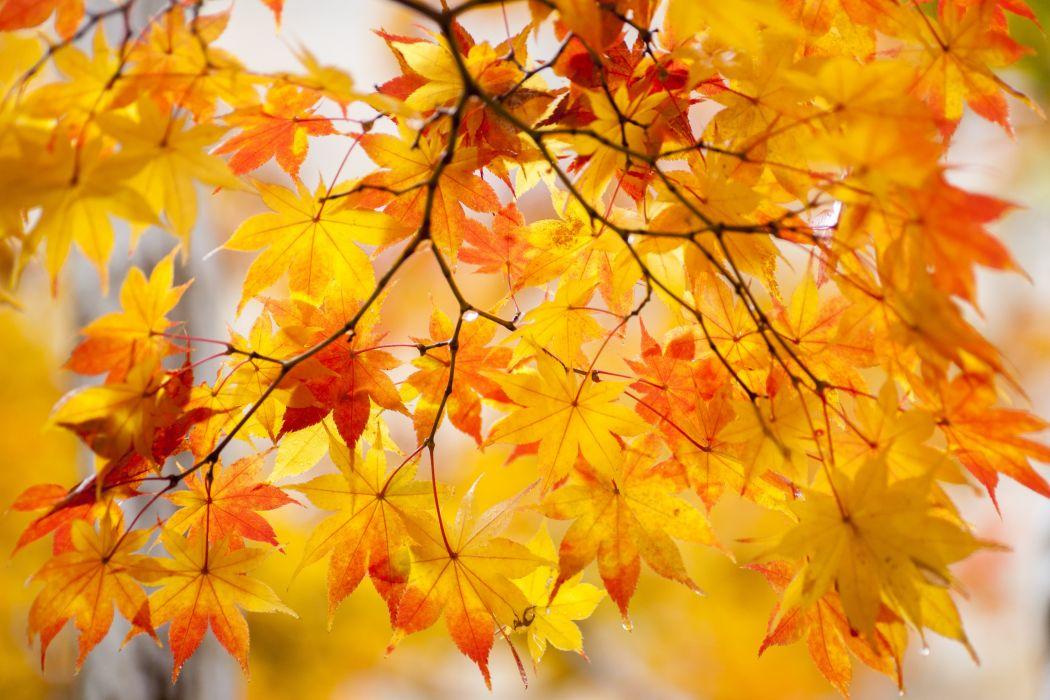 Autumn Foliage Maple Branches Nature wallpaper