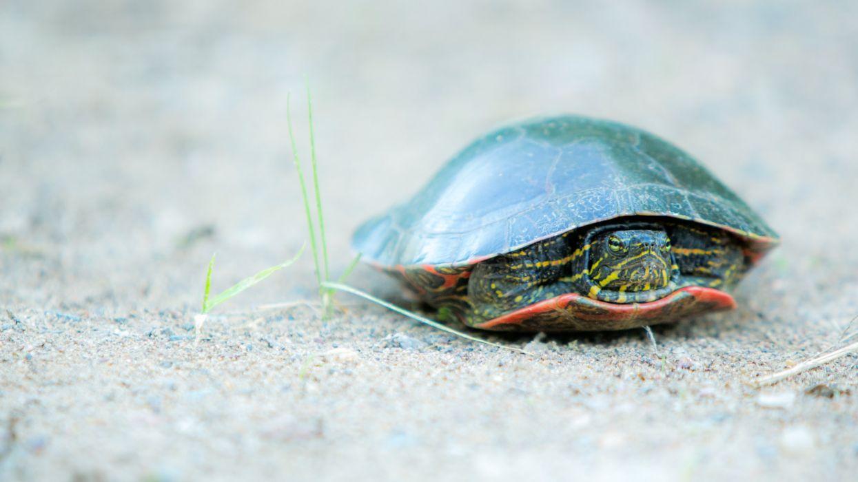 tortuga tierra reptil animales wallpaper