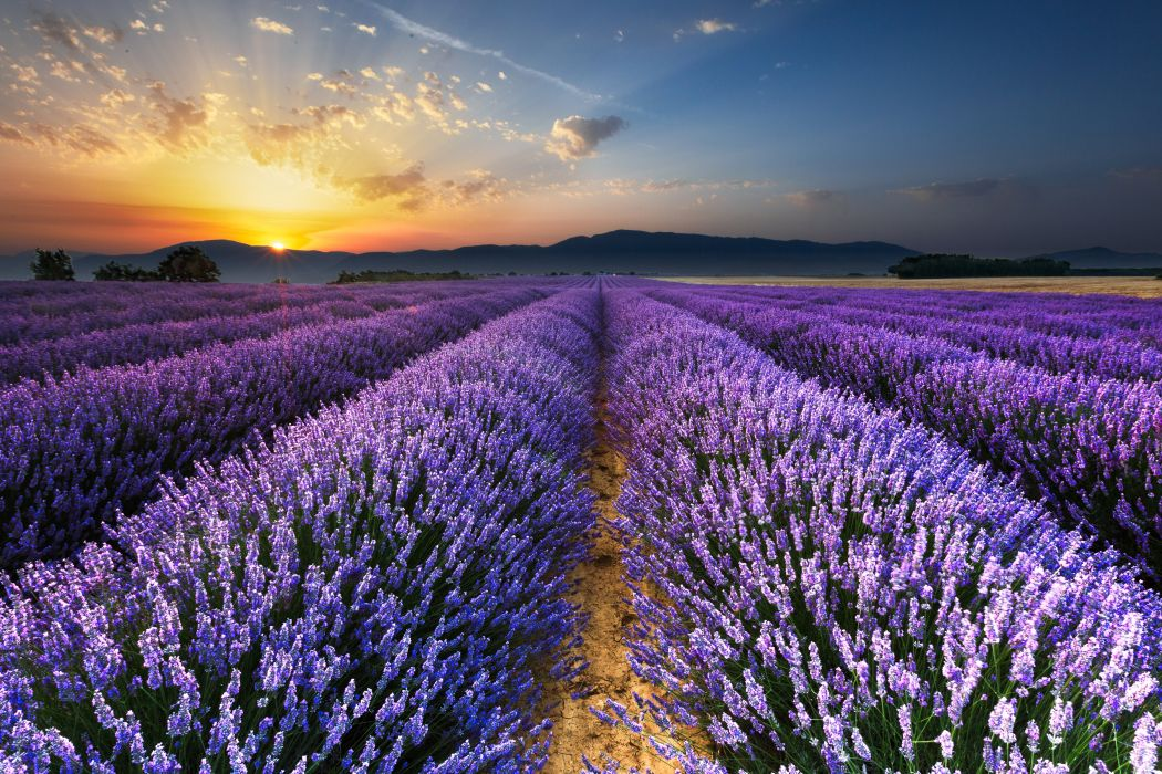 Scenery Fields Lavandula Sunrises and sunsets Sky Nature wallpaper